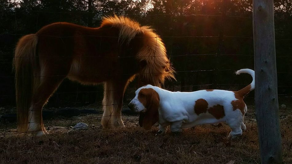 Domestic Animals Animal Themes Nature Pets Outdoors Photography Themes EyeEm Best Shots EyeEmBestPics Eyeemphotography EyeEm Best Edits EyeEm Gallery Eye4photography  Eye For Photography ForTheLoveOfPhotography EyeEmBestEdits Bassethoundadventures Bassethound Bassethound Moments Miniature Horse Horse Pony Horse Photography  Naturelovers Nature_perfection EyeEm Nature Lover