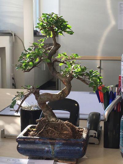 Plant Growth No People Home Interior Nature Indoors  Day Bonsai Bonsai Tree Bonsai Hunters Bonsaitree