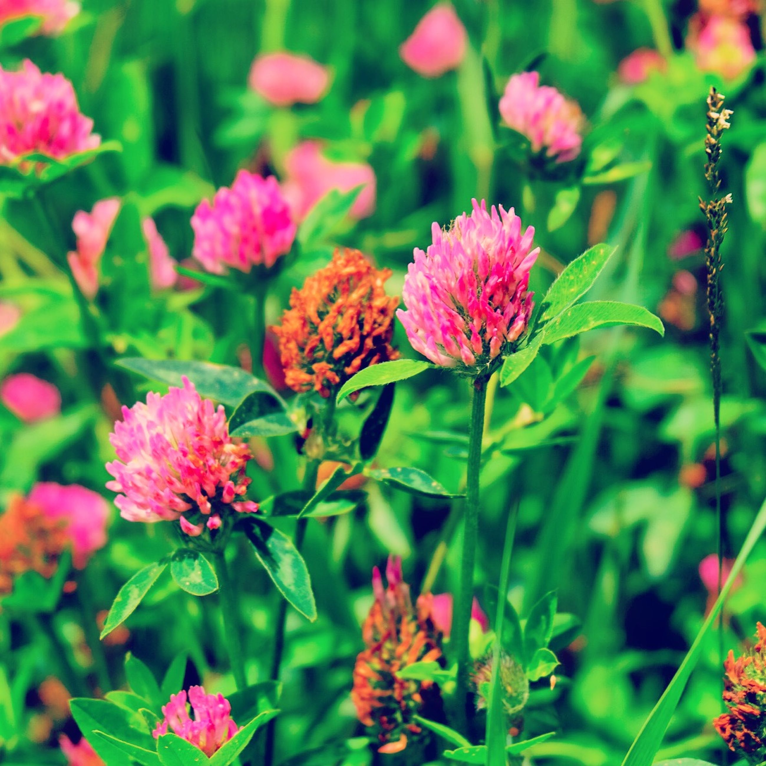 flower, freshness, growth, fragility, plant, beauty in nature, petal, nature, blooming, pink color, flower head, focus on foreground, close-up, green color, leaf, insect, animals in the wild, animal themes, stem, bud