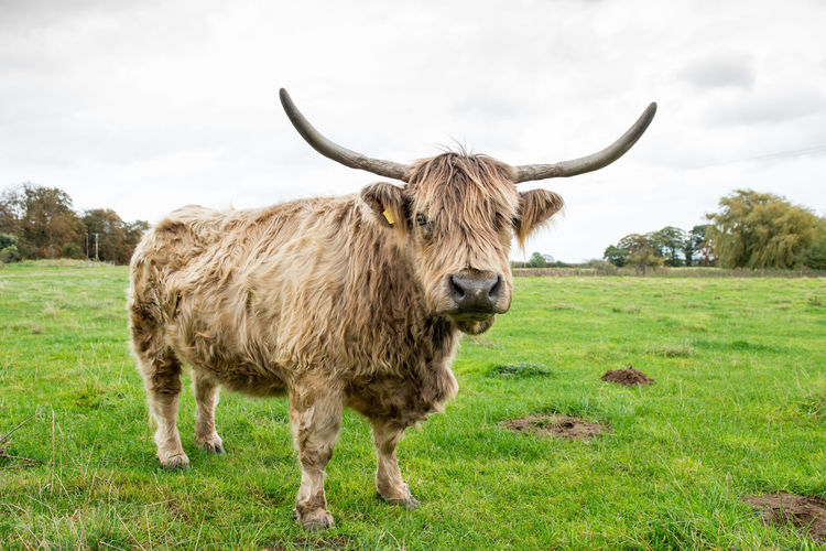 Cow in a field with horns Agriculture Animal Cattle Cow Farm Farm Life Grass Highland HighlandCows Livestock Outdoors Rural Scene