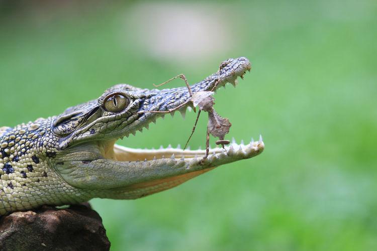 Close-up of crocodile and mantis