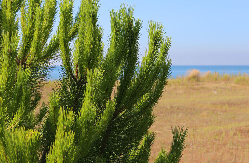 maritime pine on the beach of the Mediterranean country Maritime Pines Mediterranean  Nature Pine Beauty In Nature Grass Green Color Macchia Mediterranea Maritime Pine Nature No People Outdoor Outdoors Pino Marittimo Tranquil Scene