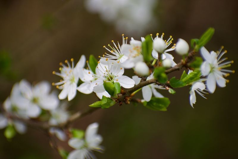 Close-Up Of White Cherry Blossom On Tree