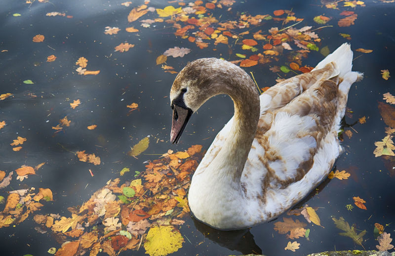 Autumn Cygnet Nature Worcesterhire Beauty In Nature Canal Close-up Peaceful Stourport Swan Swim Water Waterfowl Wide Angle View Wildlife