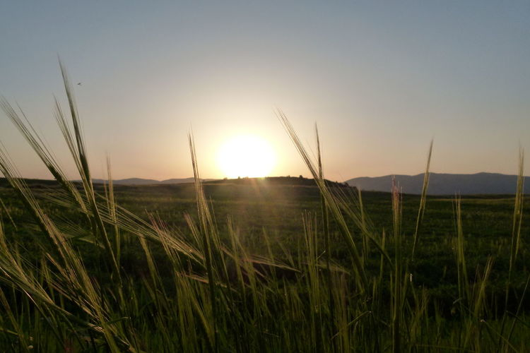 Sky Plant Sun Sunset Tranquility Beauty In Nature Field Growth Tranquil Scene Land Nature Landscape Crop  Environment Sunlight Rural Scene Scenics - Nature Agriculture Grass No People Lens Flare Outdoors Stalk Bright Blade Of Grass