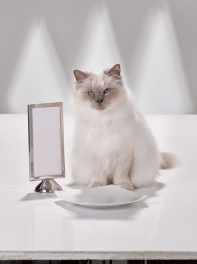 white cat waiting for dinner Animal Animal Themes Animals Capture The Moment Cat Cat Dinner Cat Food Feline Fé Gourmet Meal Lucky Cat Pet Diner Pet Photography  Pets Spoilt Cat Tabby Cat Table Service VIP Cat White White Cat