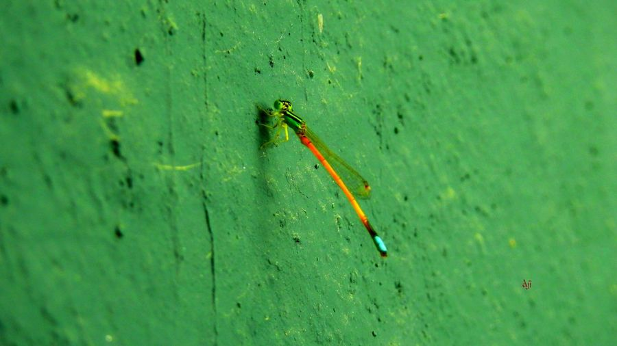 A green friend. Thattan, Insects