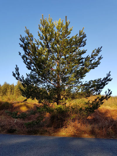 When I first encountered this tree, it was a small tree which someone had dressed as a Christmas tree. It still bears some tinsel, but is now much larger. Clear Sky Coniferous Tree Evergreen Golden Hour Growth Roadside Tranquil Scene Tree
