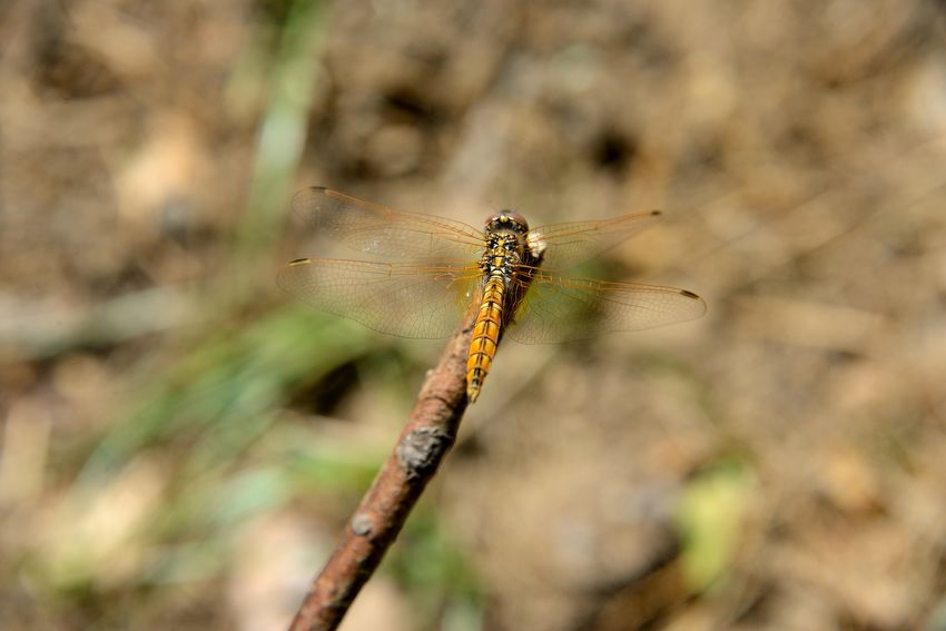 Yellow dragonfly Animal Themes Animals In The Wild Beauty In Nature Close Up Close-up Day Focus On Foreground Insect Nature No People One Animal Open Wings Outdoors Transparent Wings Yellow Dragonfly
