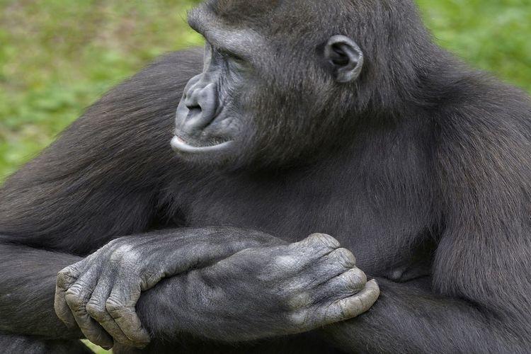 Portrait Ape