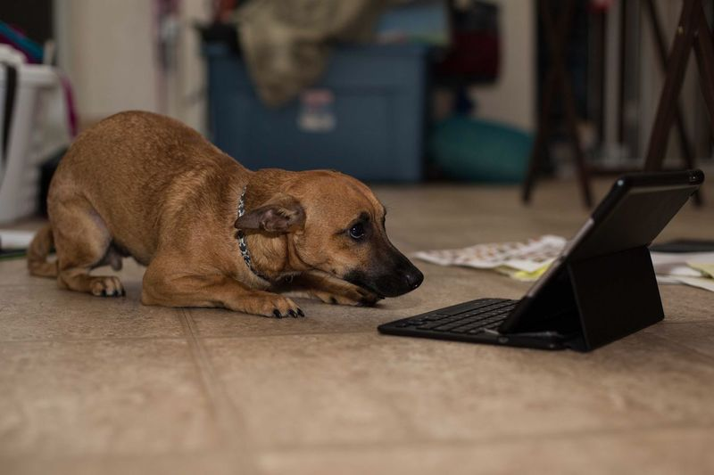 Scary Movie! Laptop Wireless Technology Dog Pets Mammal Technology One Animal Domestic Animals Animal Themes Indoors  Computer Using Laptop Home Interior Close-up Relaxation No People Day Scared Pup Pets Acting Like Humans