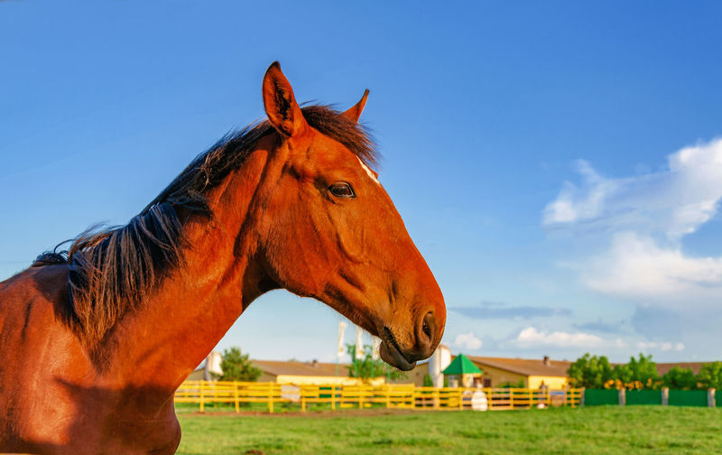 Horse Brown Red Beautiful Sky Background Grass Farm Green Animal Pen Summer Equine Nature Blue Mane Mare Portrait HEAD Field Mammal Pasture White Beauty Young Stallion Equestrian Thoroughbred Color Horses Outdoor Rural Meadow Domestic Animals Black Closeup Face Landscape Outdoors Outside Stable Foal Isolated Looking Strong Cute One Eating Behind