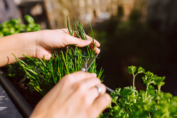 Young woman cutting fresh chives with a scissor Cutting Agriculture Chives Day Farming Food Freshness Gardening Green Color Growth Hand Herb Holding Human Body Part Human Hand Leaf Nature One Person Organic Outdoors Plant Plant Part Real People Selective Focus Sunlight
