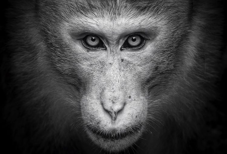 A portrait of a king Blackandwhite Black And White Closeup Blackandwhite Photography Closeupshot SriLanka Stare Down Animal Themes Animal Body Part Primate Mammal Close-up Wildlife Monkey Black No People Animal Head