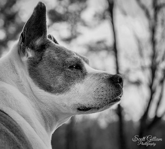 True loyalty can't be put into words. Loyalty Dog Dogs Dogs Of EyeEm Dogslife Dog Lover Dogs Life Dogsofeyeem Dogs Of EyeEm Dog Photography Animalportrait Ncanimalportrait Northcarolina Ncanimals RaleighPhotographer NCPhotographer Ncphotography Scottgilliamphotography Sonyimages Sonyphotographer Mammal Animal Body Part One Animal Animal Head  Side View Close-up Animal Wildlife Animal Themes