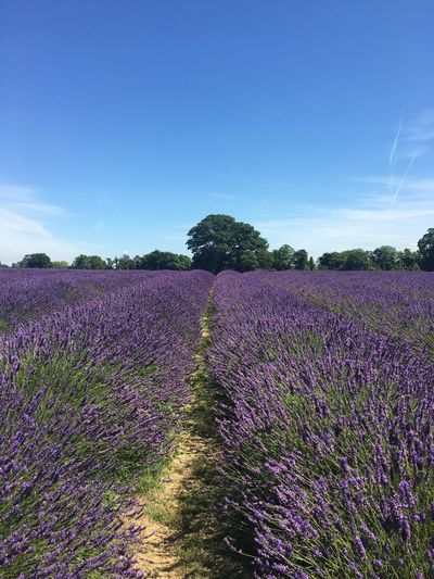 Purple Lavender Field Flower Nature Beauty In Nature Landscape Rural Scene Tranquility