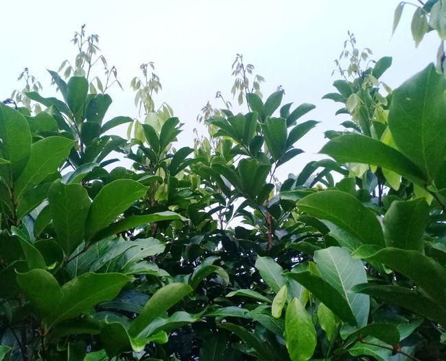Tree Tree Tea