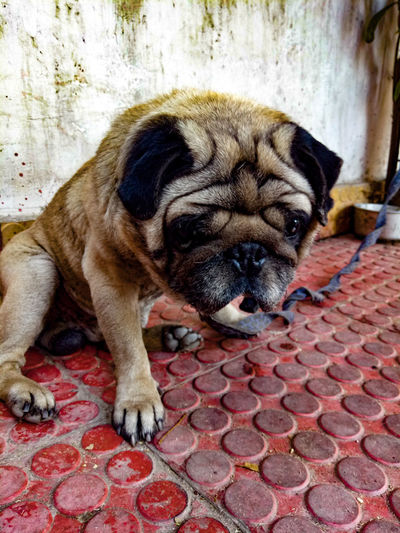 Pets One Animal Domestic Animals Animal Themes No People Dog Mammal Close-up Eyemphotography EyeEm Best Shots EyeEmNewHere Dogs Pugg Clickedandeditedbyme Like Share Comment Photography Edited Editing Love