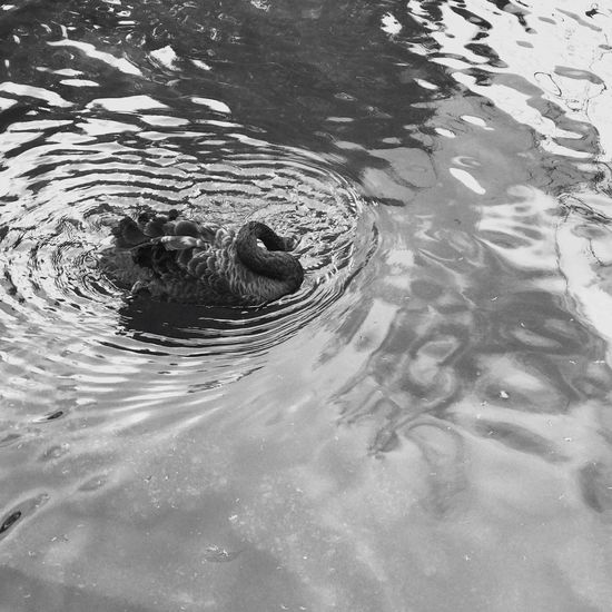 Welcome To Black Water Animal Themes Waterfront Animals In The Wild Swimming High Angle View Rippled Nature No People One Animal Outdoors Lake Animal Wildlife Day Beauty In Nature IPhone IPhone 7 IPhone 7 Plus Pet Portraits