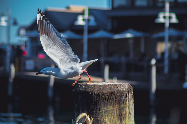 A New Beginning Seagull Seagulls And Sea SEAGULL IN FLIGHT Flying Wood - Material Port Blue Dock