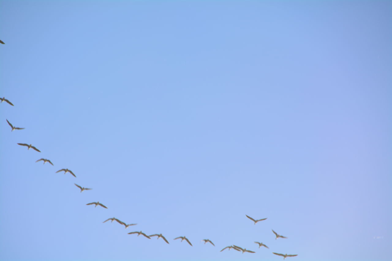 Flock of birds flying in clear sky
