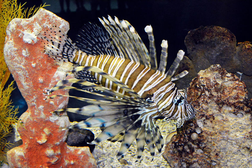Lionfish Lionfish (Pterois Volitans) Animal Themes Close-up Fish Lionfish No People One Animal Sea Life Underwater Water UnderSea Animals In The Wild Animal Wildlife Sea Nature Swimming Day Outdoors