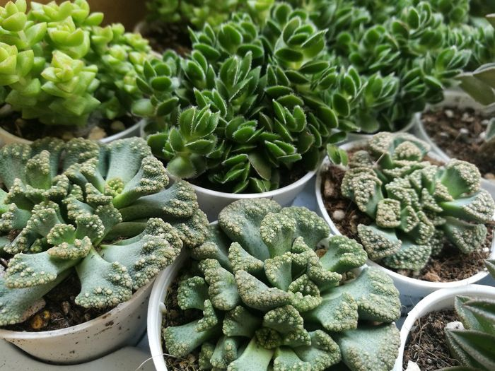 Cactus Cactus Garden Cactus Flower Green Natural Natural Beauty Nature Plant Plants Succulent Plants Succulents SucculentsLover Cactus Collection Cactuslover Echeveria Echeveria Succulen Green Color Growth No People Plant Plants And Flowers Succulent Succulent Plant