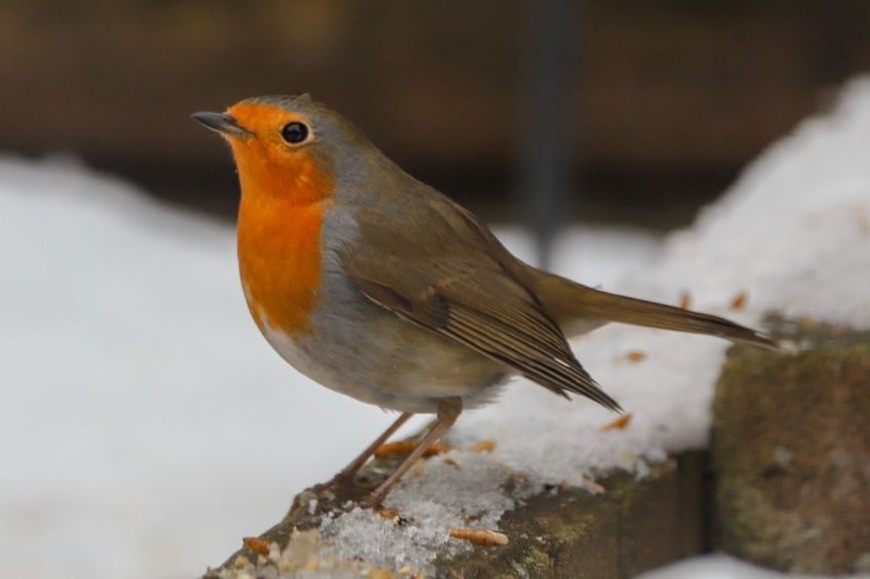Robin in the snow Bird Photography EyeEm Nature Lover EyeEmBestPics EyeEm Best Shots - Nature Bird Animal Themes Animal Vertebrate One Animal Animal Wildlife Animals In The Wild Winter Cold Temperature Robin Snow Outdoors