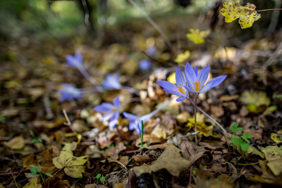 Plant Flower Flowering Plant Vulnerability  Fragility Freshness Growth Beauty In Nature Land Field Close-up Purple Petal Nature Leaf Plant Part Day Inflorescence Flower Head No People Crocus Outdoors Iris