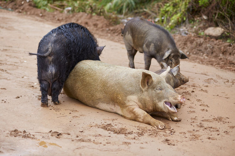Pigs with piglet on sand