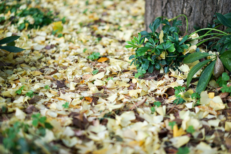 Close-up Fallen Leaves Ginkgo Green Color Leaf Leaves Plant Yellow
