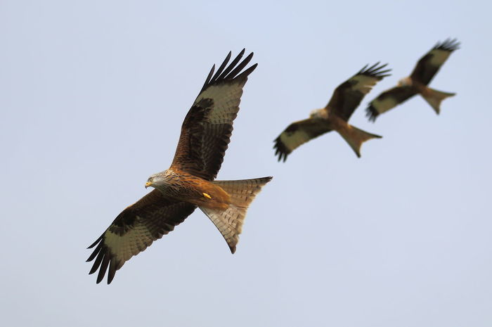 three falling Animal Themes Animal Wildlife Animals In The Wild Beauty In Nature Bird Bird Of Prey Clear Sky Day Flying Low Angle View Mid-air Motion Nature No People One Animal Outdoors Red Kites Redkite Sky Spread Wings Gigrin Farm