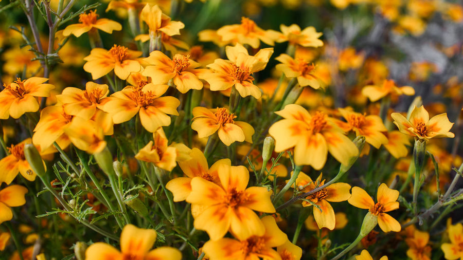 Close-up of yellow flowering plants in field
