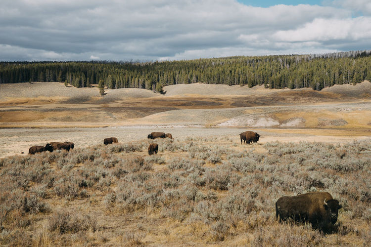 Bison Bisons Bison Group Bison Herd Animal Themes Animal Mammal Group Of Animals Animals In The Wild Animal Wildlife Plant Sky Grass Yellowstone National Park Wyoming Wyoming Landscape US Nationalpark Cloud - Sky No People Livestock Nature Environment Land Landscape Large Group Of Animals Herd Field