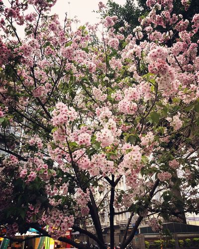 Cherry blossoms Holiday Cold Temperature Spring Season  Flowers