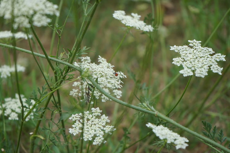 Wilde Möhre-Daucus Carota Daucus Carota Wildflower Beauty In Nature Carrot Close-up Day Field Flower Flower Head Flowering Plant Focus On Foreground Fragility Freshness Green Color Growth Land Nature No People Outdoors Petal Plant Plant Stem Small Vulnerability  White White Color Wild Wild Carrot Wilde Möhre