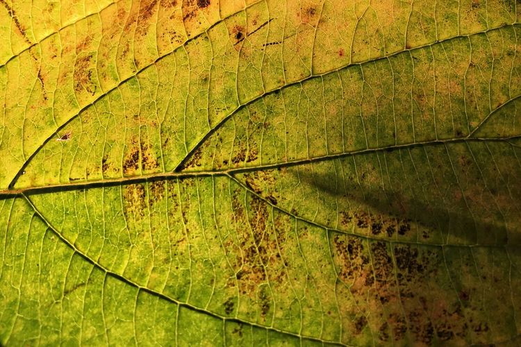Leaf Autumn Nature Green Color Outdoors Growth Backgrounds Forest Beauty In Nature Leaf Vein Green Leaves Close-up Macro