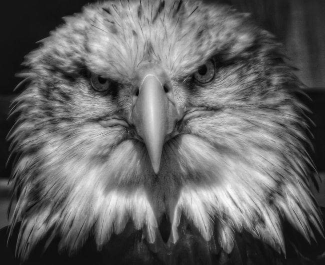 1581x1600 Black And White Eagle Head Clipart