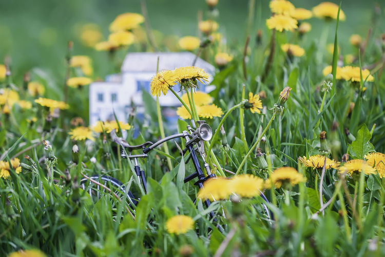Miniature metal bike in yellow dandelions blooming meadow in springtime Plant Field Flower Nature Growth Yellow Outdoors Flower Head Land Flowering Plant Beauty In Nature No People Springtime Plant Stem Fragility Freshness Petal Green Color Miniature Bike Dandelion Meadow Easter Bicycle