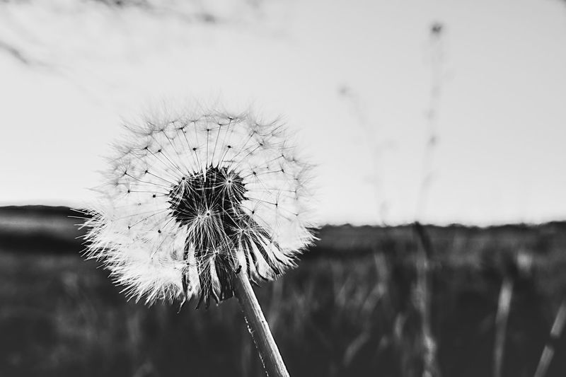 EyeEm Selects EyeEm Best Shots EyeEm Gallery My Best Photo Plant Focus On Foreground Close-up Fragility Flower Flowering Plant Nature Vulnerability  Dandelion Growth Beauty In Nature No People Day Freshness Flower Head Inflorescence Sky Water Plant Stem Outdoors Springtime Decadence