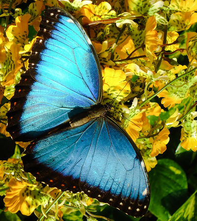 Morpho Take-off Magic Silent And Beautiful Left Left Side Wings Butterfly Wings Butterfly Closeup Close-up Copy Space Marketing Animal World Open Wings Sunbathing Morpho Morpho Buttefly Flying Insect Beautiful Animals  Beauty Centered Perspective Centered In Front Zoom Blue Light Blue Butterfly Insect Yellow Leaves Elegance In Nature EyeEmNewHere