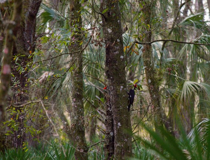 2 pileated