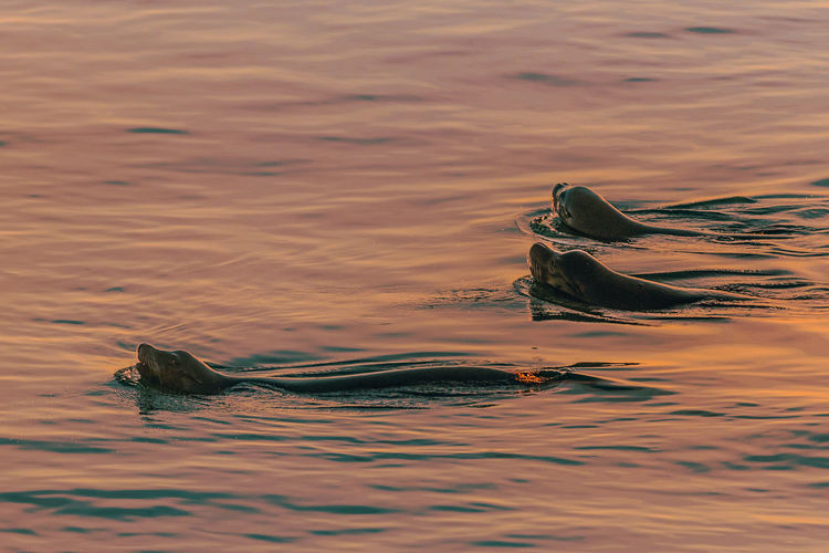 Aquatic mammals swimming in sea during sunset