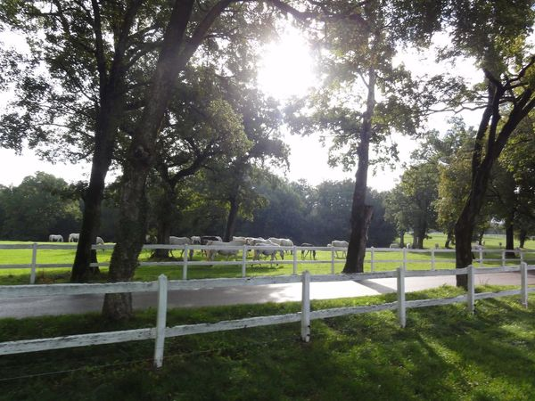 Beauty In Nature Fence Grass Green Color Growth Horses Lipica Lipicanec Lipicaner Nature Park Park - Man Made Space Shadow Sun Through The Trees Sunlight Tranquil Scene Tranquility Tree White Fence