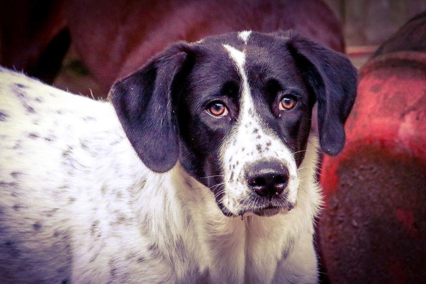 Very Attentive Tadaa Community Malephotographerofthemonth Texas Photographer Great Pyrenees Pets Portrait Dog Looking At Camera Beagle Close-up