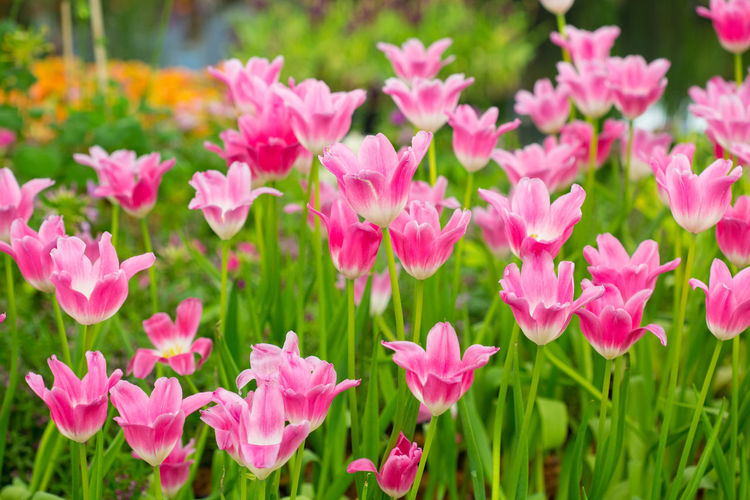 Tulips🌷 Flower Flowering Plant Plant Freshness Beauty In Nature Petal Pink Color Vulnerability  Fragility Growth Flower Head Close-up Inflorescence Nature No People Day Focus On Foreground Green Color Outdoors Plant Part Springtime Flowerbed