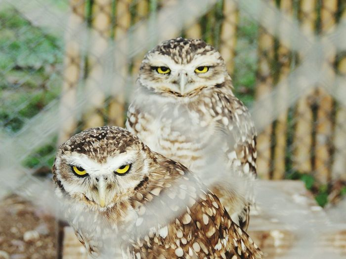 Portrait Of Owls Seen Through Fence