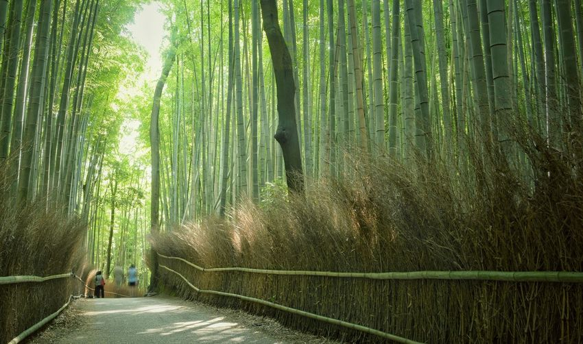 Greenwood Green EyeEm Gallery Kyoto Japan Photography Japan Sunlight Tree Forest Plant Green Color Land Nature Bamboo Grove Beauty In Nature Bamboo - Plant Bamboo The Way Forward Growth Tranquility WoodLand Direction Non-urban Scene Environment Lush Foliage Footpath Foliage