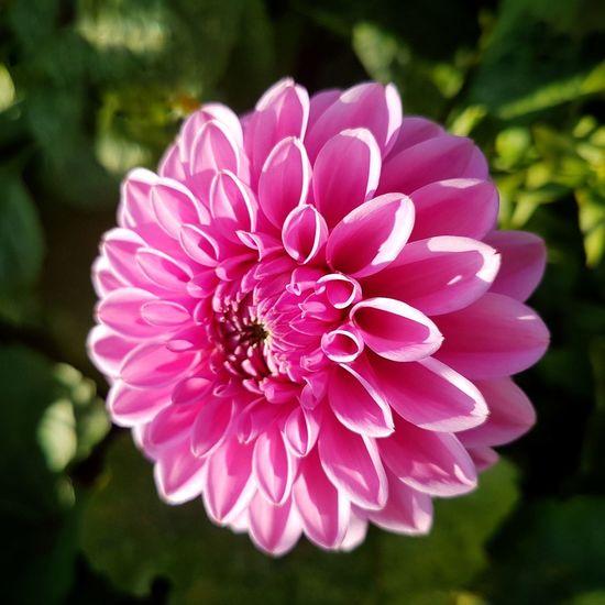 flower EyeEm Selects Daliah Flower Head Flower Pink Color Petal Close-up Plant