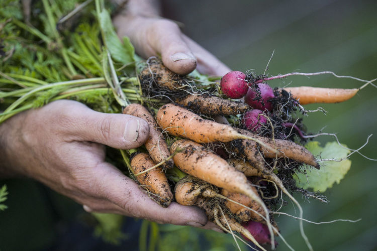 Close-up of hands holding carrots and radishes